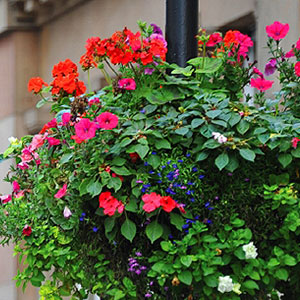 Liverpool-BID-Hanging-baskets